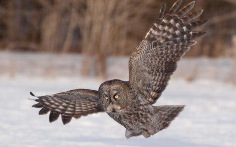 Lapp Owl