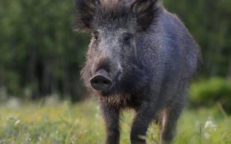 Wild boar in Estonia