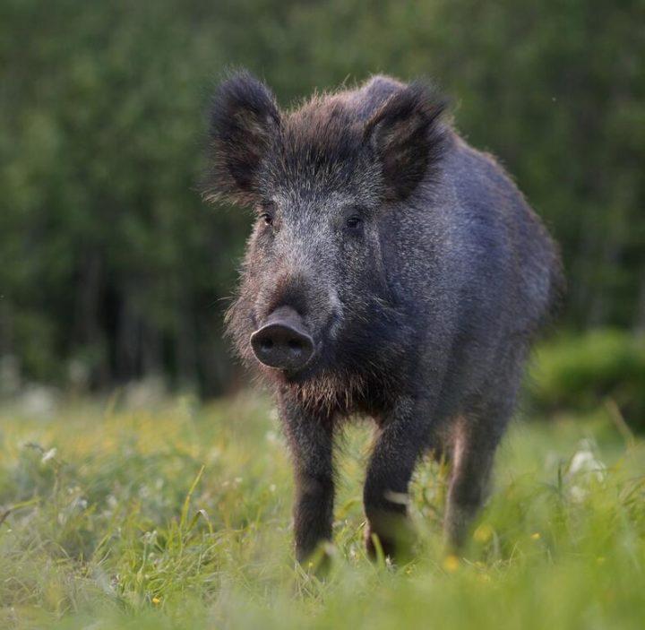 Wild boar in Estonia